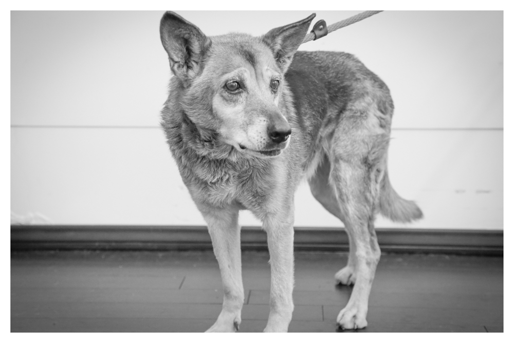 Sable A1700349 Female 10 year old Germ Shep currently in medical due to some physical issues..Only weighs 30 pounds!