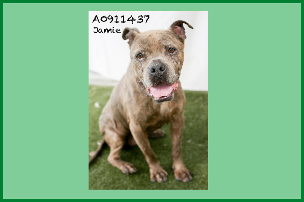 A0911437 Meet Jamie! This hairy Pit is as sweet as they come. She has a great low energy and is as sweet as can be. Jamie has some dated scarring on her face and feet—what a life she must have lived before coming to the shelter. Despite it all, she is kind and gentle, and she gets along with other dogs when introduced properly. Jamie has a LOT of love to give despite her age (around 11 years), and she can't wait to meet you! Come see this babe at the South Los Angeles Animal Shelter (1850 W. 60th Street, 213-485-0303), and make yours that ever-deserving fur-ever home. Please share!