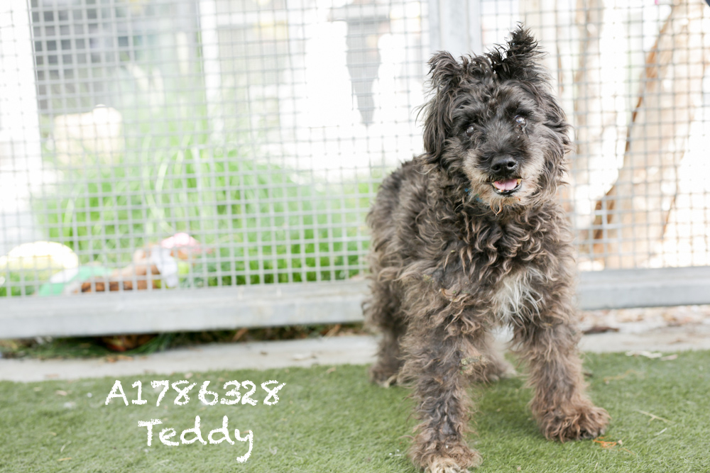 A1786328 Meet Teddy! This 10-year-old Schnauzer Mini is the absolute cutest mess. He could use a bath and a hair cut, but he is otherwise adoption ready! Teddy doesn't like his mouth to be touched but is otherwise super friendly. He will be neutered upon adoption. Come see this babe at the South Los Angeles Animal Shelter (1850 W. 60th Street, 213-485-0303), and make yours that ever-deserving fur- ever home. Please share!