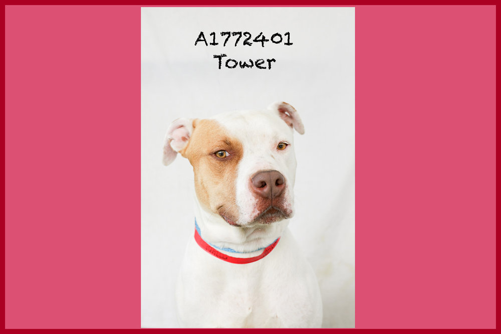 A1772401 Meet Tower! Tower has been at the shelter since April 22, and yet he is the kindest soul in the place. Tower is great on the leash, he is non-reactive when walking through the noisy kennels, and he is literally the sweetest thing. Tower weighs 74 pounds and is only two years old! He would make a great addition to any family. Tower will be neutered upon adoption. Come see this babe at the South Los Angeles Animal Shelter (1850 W. 60th Street, 213-485-0303), and make yours that ever-deserving fur-ever home. Please share!