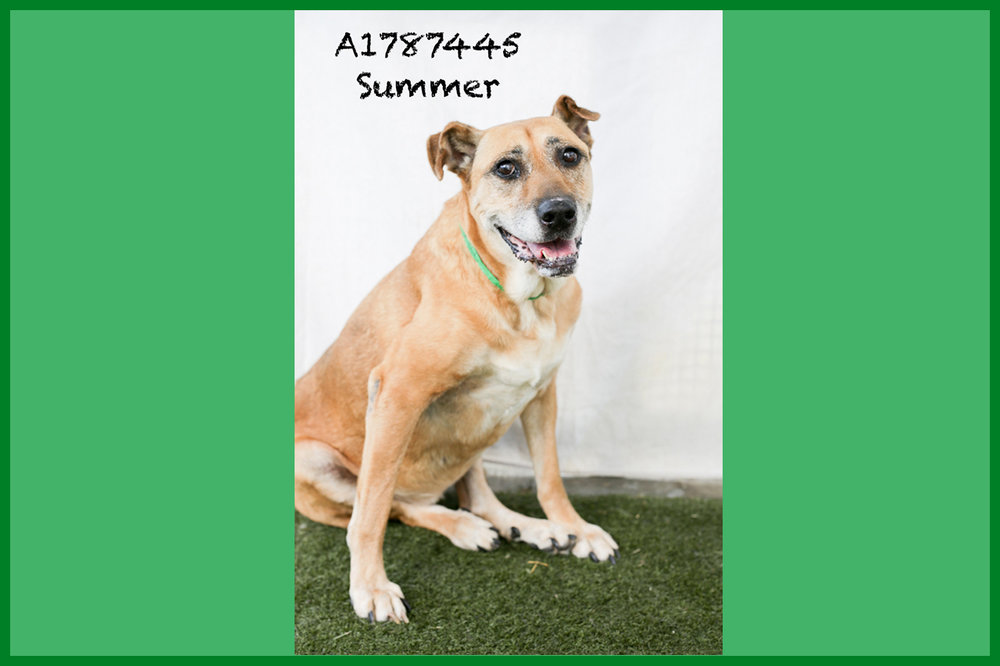 A1787445 Meet Summer! Summer is a spayed ten-year-old 65-pound Lab. Her hind legs are weak and shaky, but she doesn't let that stop her! While Summer moves a little more slowly, she is as sweet as can be. Come see this babe at the South Los Angeles Animal Shelter (1850 W. 60th Street, 213-485-0303), and make yours that ever-deserving fur-ever home. Please share!