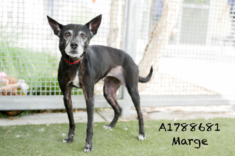A1788681 Meet Marge! Marge is a 15-year-old German Pinscher. She is a mellow and sweet old lady, but don't let her age fool you. She has a lot of spunk in that little (21-pound) body! Marge would make a great companion, and she can't wait to meet you! Come see this babe at the South Los Angeles Animal Shelter (1850 W. 60th Street, 213-485-0303), and make yours that ever-deserving fur-ever home. Please share!