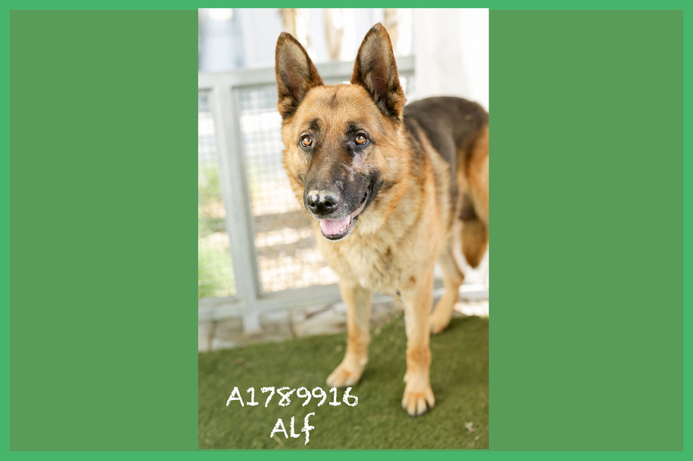 A1789916 Meet Alf! Alf is an eight-year-old, 75-pound German Shepherd. He is the true definition of a gentle giant. Alf just wants to be near you, and he takes treats like an angel. Alf is back in medical where no one can see him, but he's such a treasure! Alf will be neutered upon adoption. Come see this babe at the South Los Angeles Animal Shelter (1850 W. 60th Street, 213-485-0303), and make yours that ever-deserving fur-ever home. Please share!