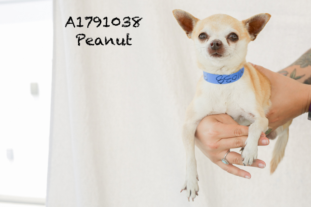 A1791038 Meet Peanut! This little guy is such a gem. Peanut is a six-year-old, short-haired Chihuahua who weighs a whopping four pounds. That's right, four! Peanut has an adorable overbite and loves to perch on your shoulder, or your arm, or your lap, or your chest. He is a little aggressive in his kennel (can you blame him?), but once he is out and about he is the mellowest, sweetest pup ever. Peanut will be spayed upon adoption. Come see this babe at the South Los Angeles Animal Shelter (1850 W. 60th Street, 213-485-0303), and make yours that ever-deserving fur-ever home. Please share!