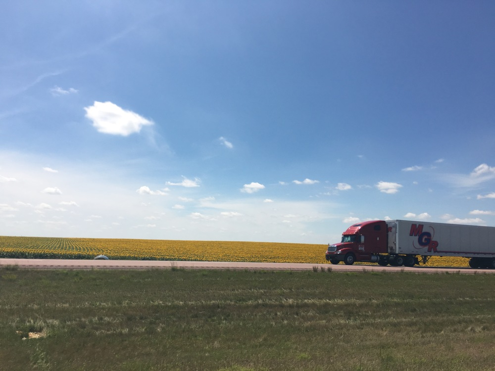 Sunflower fields of South Dakota