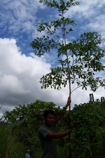 Planting Empowerment employee Liriano Opua with an 18' tall yellow-wood tree