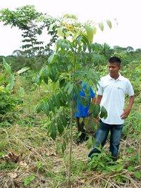 Liriano inspects a mahogany tree