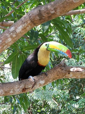 Photo of a toucan sitting on a branch