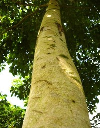Photo of the trunk of a Yellow wood (Armarillo) tree in Panama