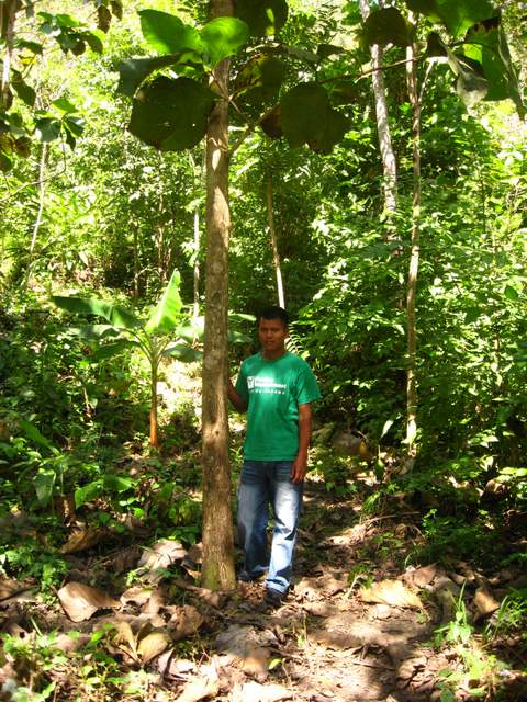 Forestry technician stands with a teak tree in Panama