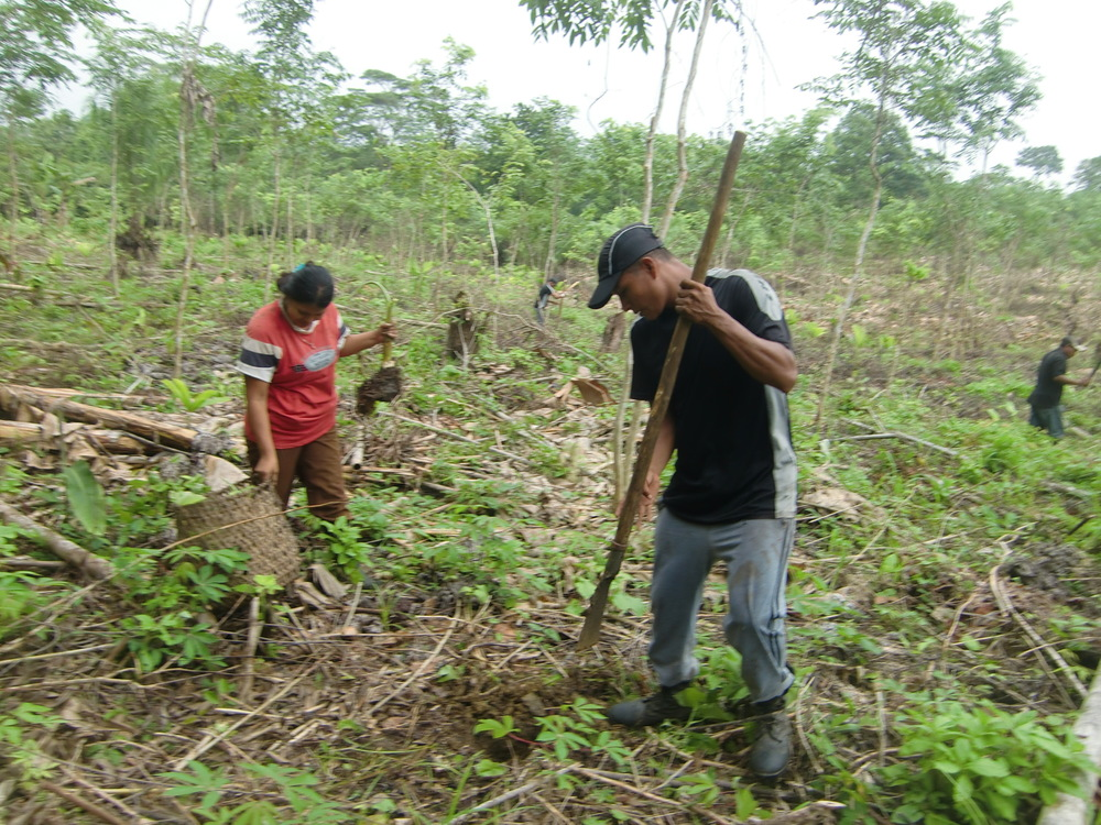 Workers in Arimae dig holes to plant plantain trees