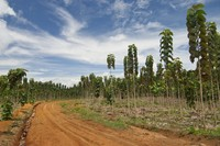 Photo of a monoculture Teak tree farm in Panama