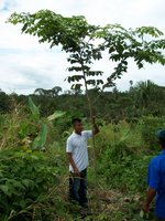 Planting Empowerment employee Liriano Opua demonstrates the growth of a 1-yr. cocobolo tree.