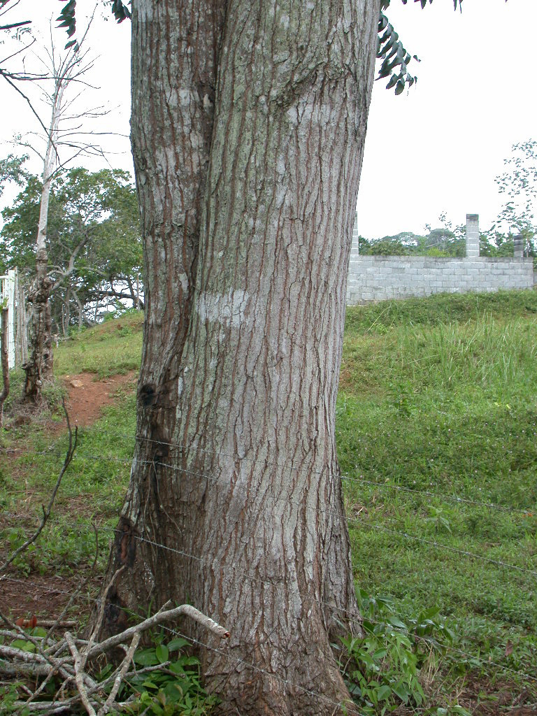 Cedro amargo trunk.jpg