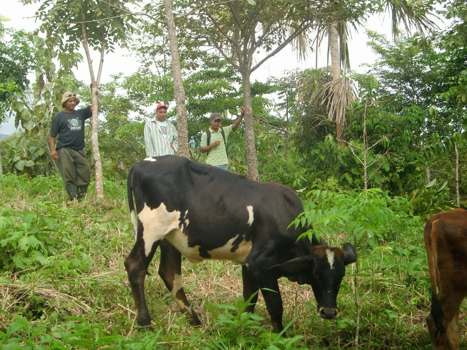 Yem, Ino, and Liriano monitor cattle grazing in the Nuevo Paraiso #2 finca