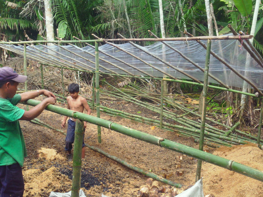 Temporary nursery set up to incubate plantain stalks before transplanting