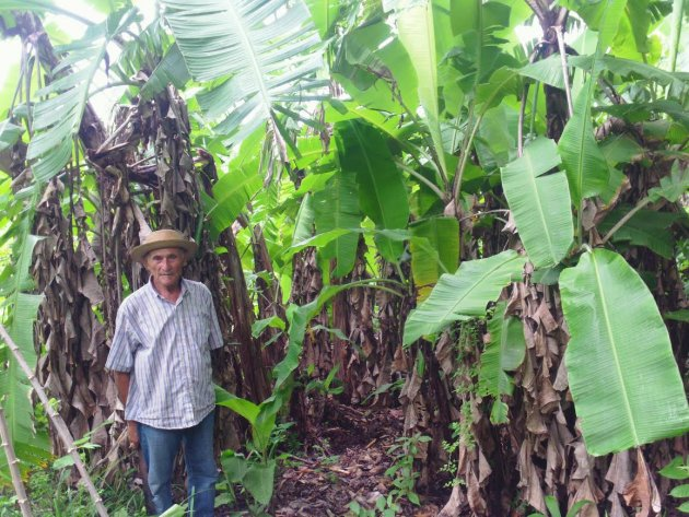 Partner David standing in front of some of his existing plantain trees