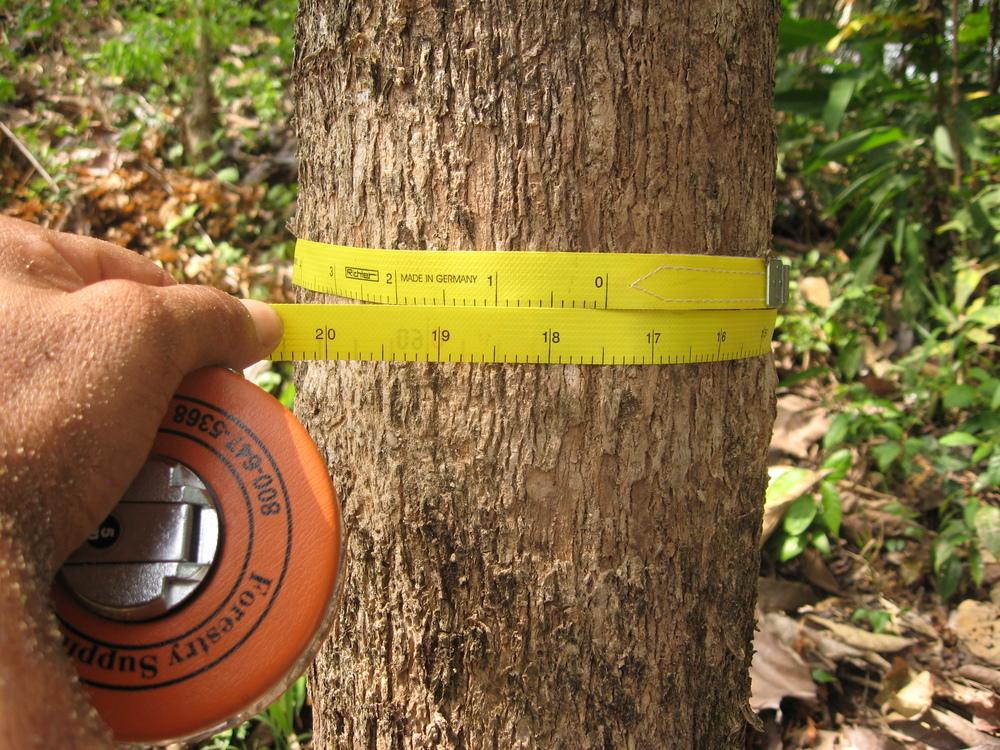 teak-tree-measurement