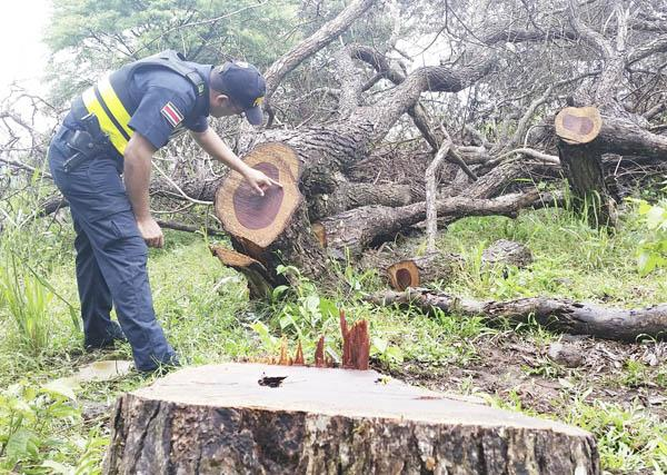 An official points out heartwood of an illegally felled cocobolo tree. Photo courtesy of the Diario Extra.