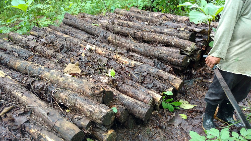 Teak logs piled in Arimae from the raleo last year