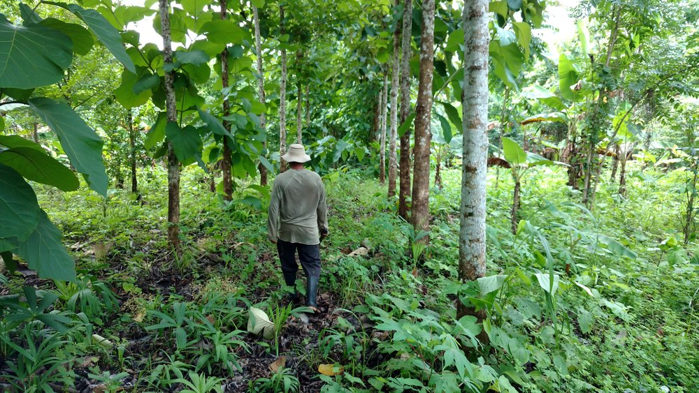 Yem walking through the teak in the 2012 finca in Arimae