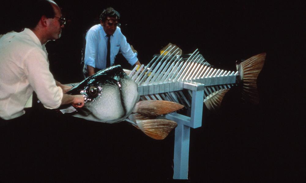 """interactive fish skeleton """"how do fish swim?"""" for aquarium client"""