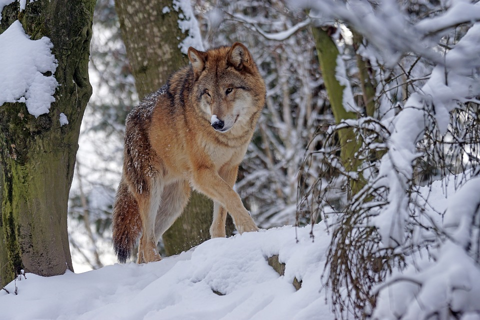 wolf-1972762_960_720.jpg