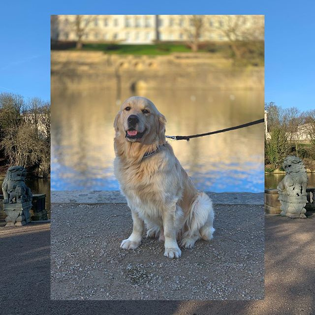 An anxious start to 2019, but this squishlord makes life less ruff... . . . . . #goldenretriever #golden #retriever #retrievers #borrowmydoggy #goldenretriverworld #goldensofinstagram #dogsofinstagram #dogstagram #weeklyfluff #petme #dogsofnottingham #nottingham #nottinghamrocks #nottinghamblogger