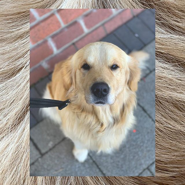 Mr steal your girl. . . . . . #nottinghamblogger #nottsbloggers #dogstagram #dogsofinstagram #goldenretriever #goldensofinstagram #goldensofig #instagolden #instadog #nottingham #instagolden #retriever #retrieverstagram