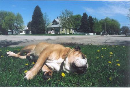 bulldogsleeping.jpg
