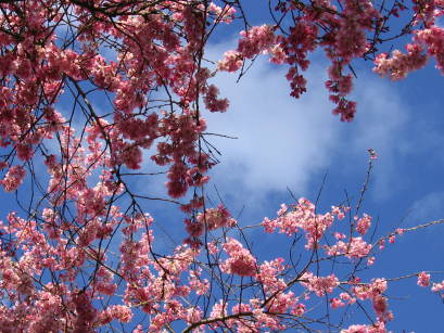 cherryblossombranches.JPG