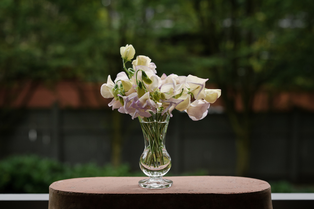 'April in Paris' -- the prettiest and most sweetly scented sweet pea I've ever grown.