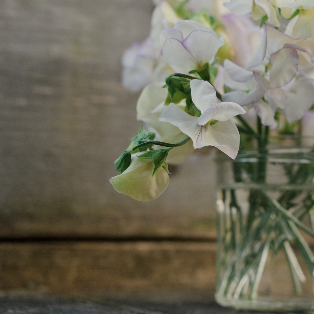 Sitting pretty on the bench: 'April in Paris' sweet peas, July 25th.