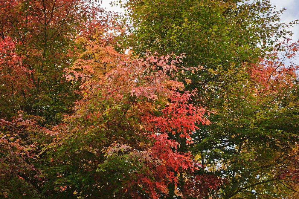 2012_10_28_Maple_Tree_03.jpg