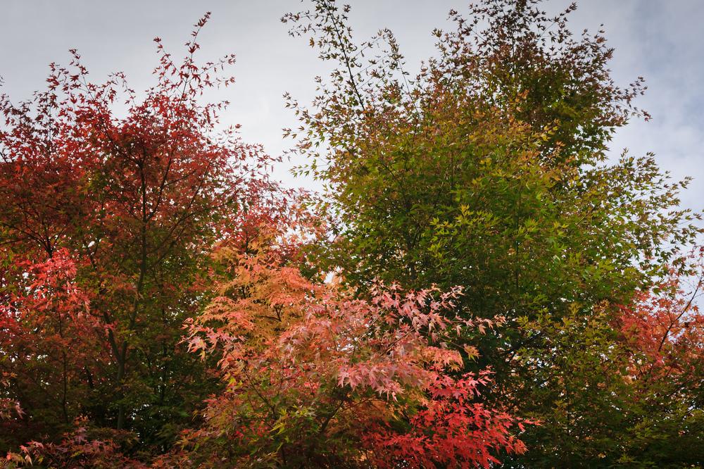 2012_10_28_Maple_Tree_04.jpg