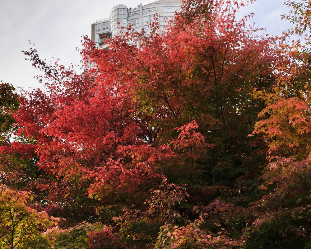 2012_10_28_Maple_Tree_06.jpg