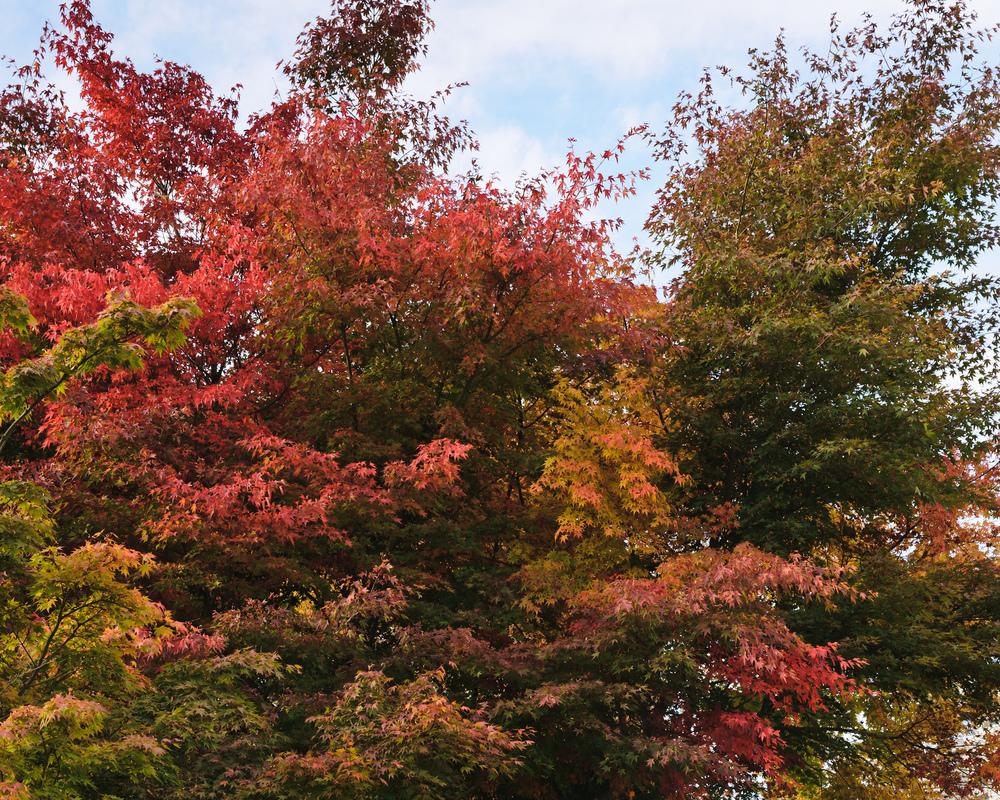 2012_10_28_Maple_Tree_07.jpg