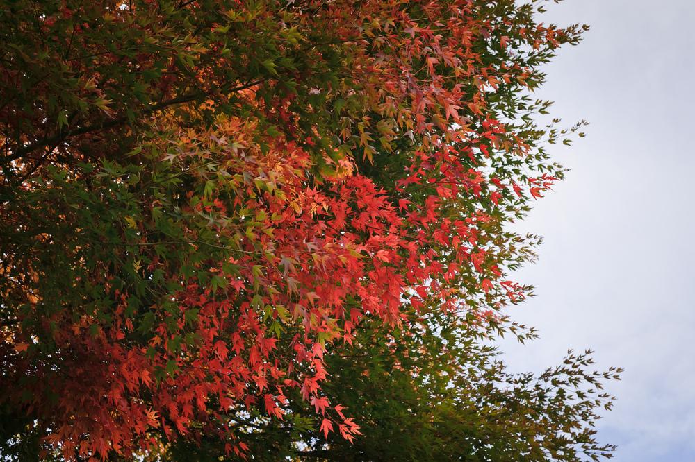 2012_10_28_Maple_Tree_08.jpg