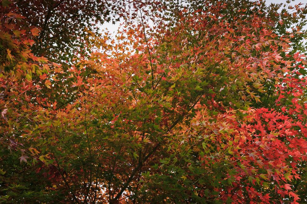2012_10_28_Maple_Tree_09.jpg