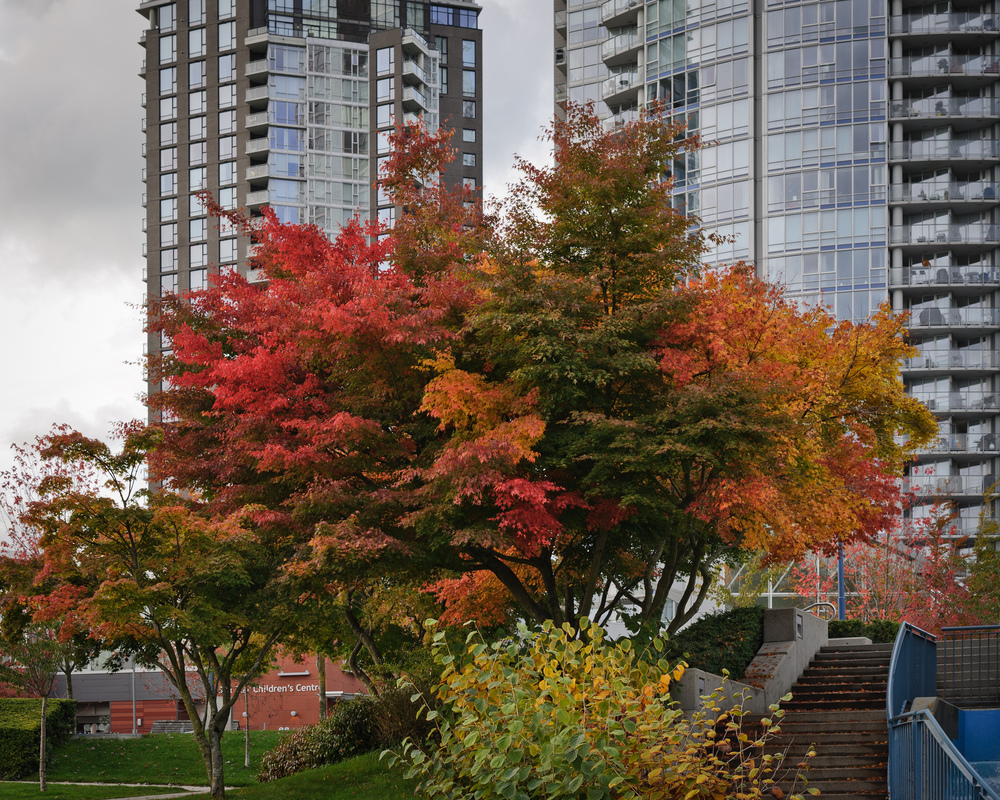A Japanese Maple tree at David Lam Park, October 28th, 2012.