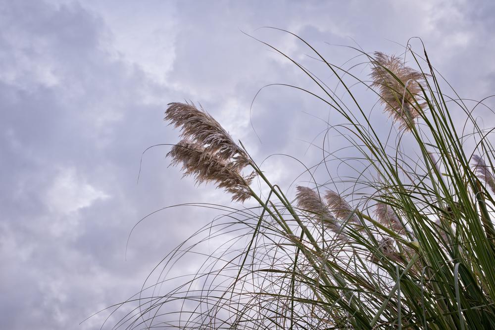 2012_10_28_Pampas_Grass.jpg