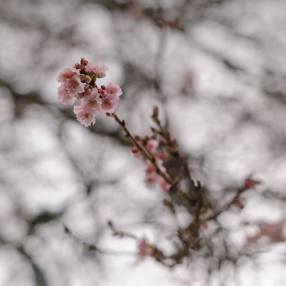 2012_12_30_Cherry_Blossoms_at_Lost_Lagoon.jpg