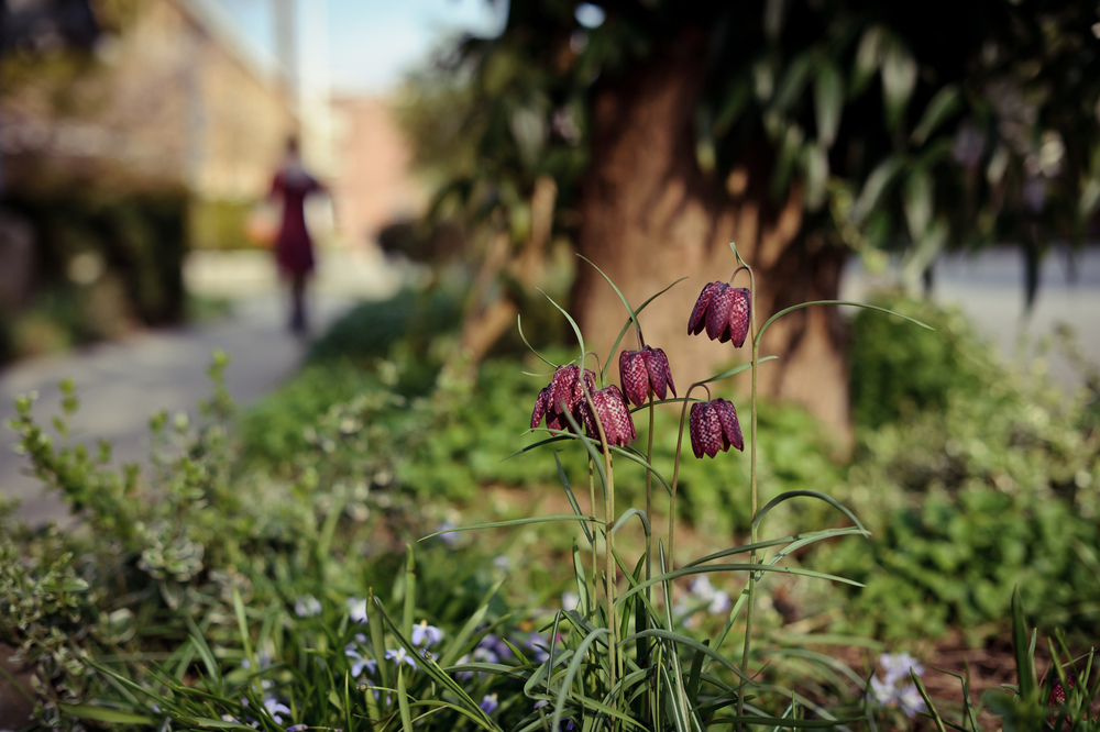2013_04_08_Fritillaria_meleagris.jpg