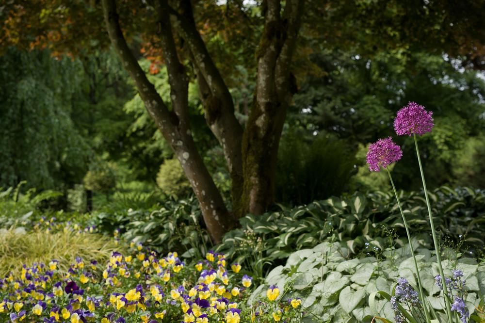 2013_05_20_Allium_Minter_Gardens.jpg
