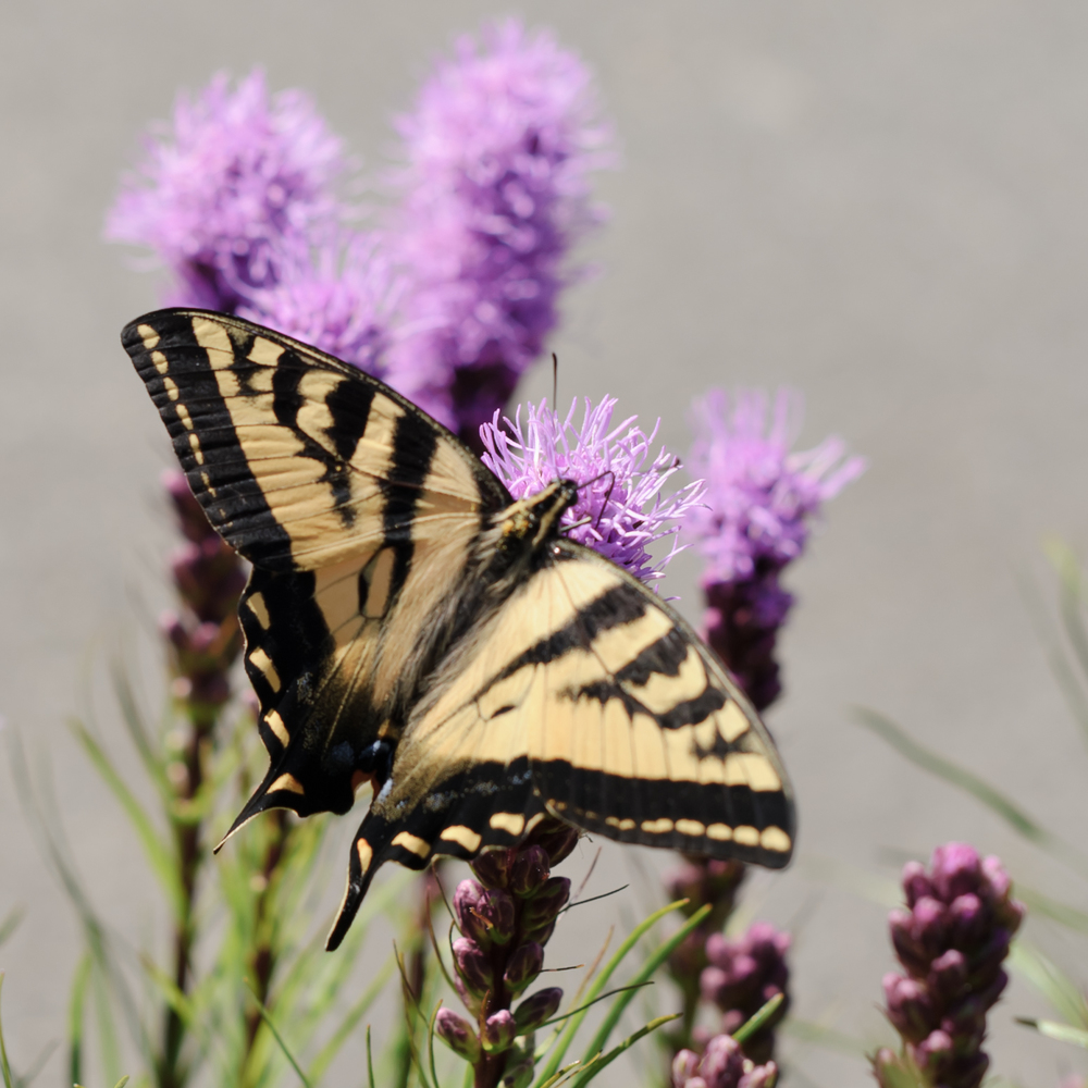 Yellow swallowtail nectaring on Liatris spicata in my mother's garden, July 6, 2013.