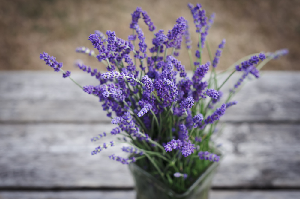 A mid-summer bouquet  of 'Hidcote' lavender from my community garden plot, August 18, 2013.