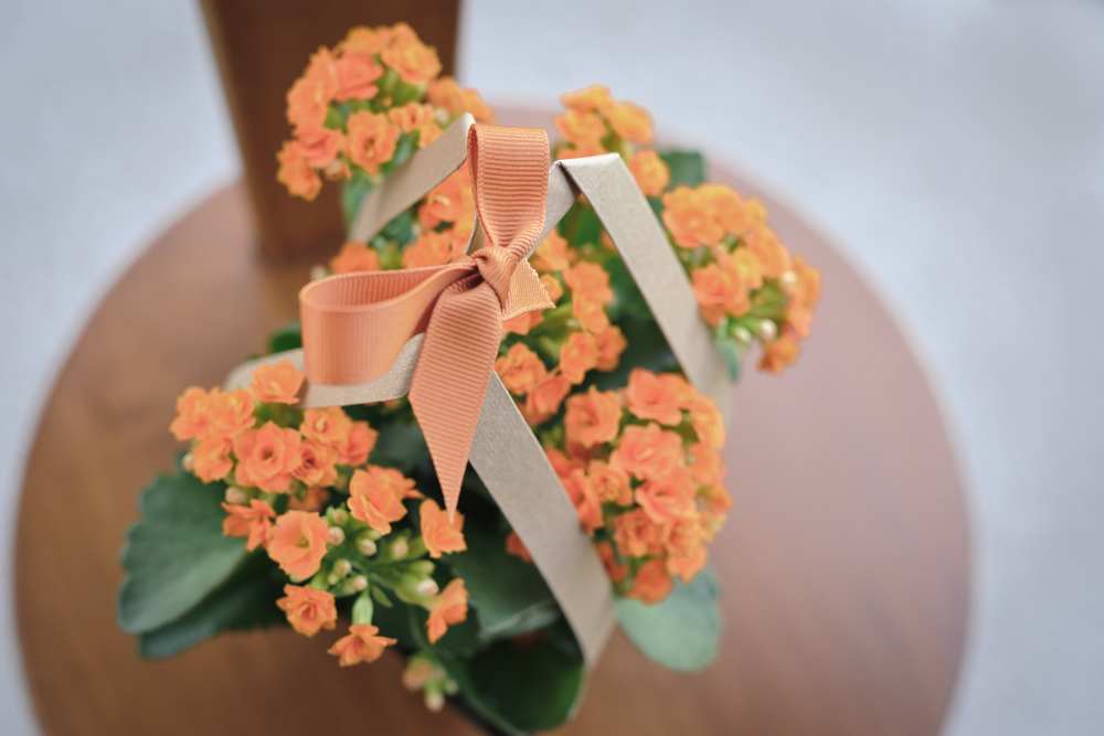 Kalanchoe with a bow - a Thanksgiving gift