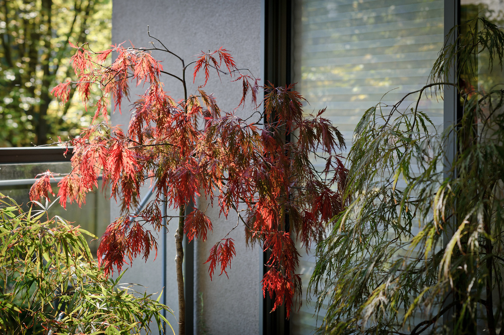 Acer palmatum 'Red Dragon' flanked by 'Red Pygmy' (left) and 'Crimson Queen' (right)