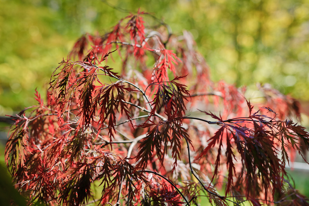 Acer palmatum 'Red Dragon', early October