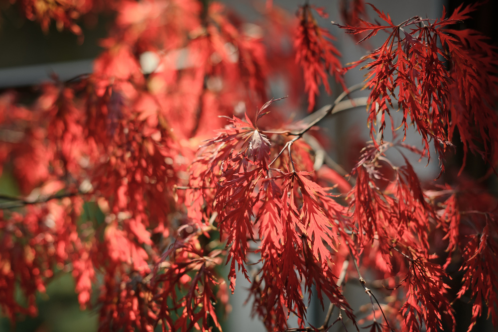 Acer palmatum 'Red Dragon', late October